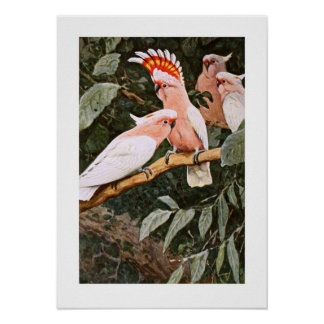 Inca Cockatoo Poster