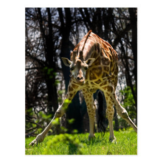 Inclinación de la jirafa tarjeta postal