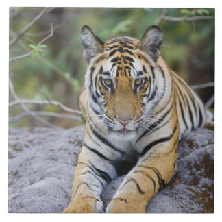 India, Bandhavgarh National Park, tiger cub Large Square Tile