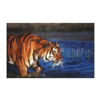 India, Bengal Tiger (Panthera Tigris) 1 Canvas Print