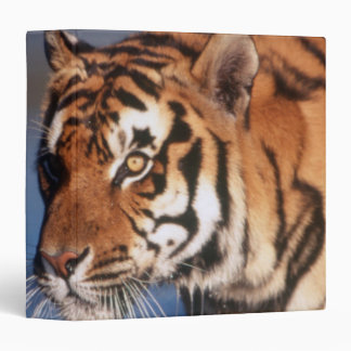 India, Bengal Tiger (Panthera Tigris) 2 Binder
