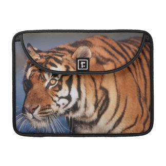 India, Bengal Tiger (Panthera Tigris) 2 Sleeve For MacBook Pro