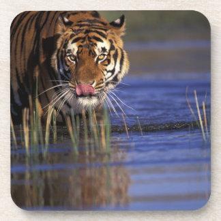 India. Bengal Tiger (Pathera tigris), captive Coaster