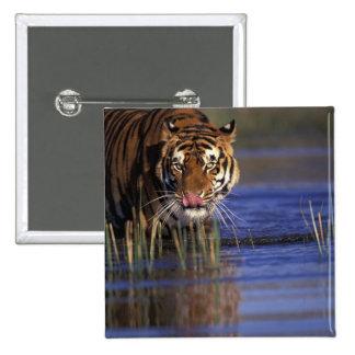 India. Bengal Tiger (Pathera tigris), captive Pinback Button