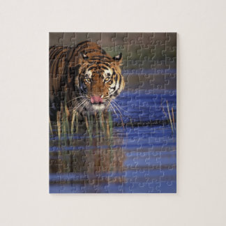 India. Bengal Tiger (Pathera tigris), captive Puzzle