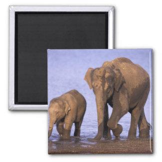 India, Nagarhole National Park. Asian elephant 2 Inch Square Magnet