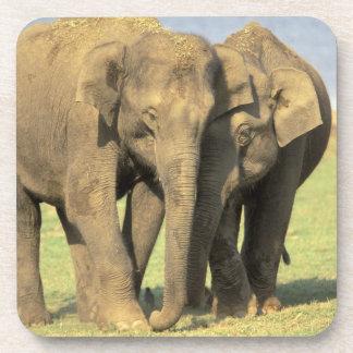 India, Nagarhole National Park. Asian elephant Beverage Coaster