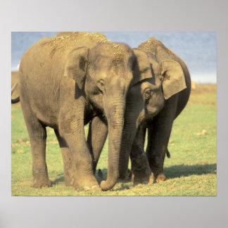 India, Nagarhole National Park. Asian elephant Posters
