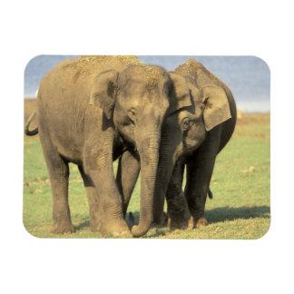 India, Nagarhole National Park. Asian elephant Rectangular Photo Magnet