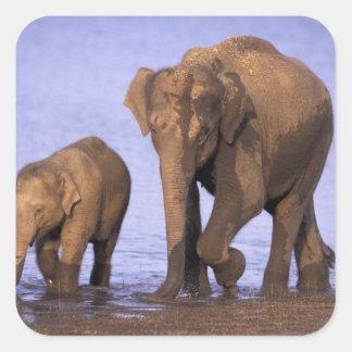 India, Nagarhole National Park. Asian elephant Square Sticker