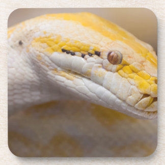 Indian Albino Python Ho Chi Minh City Zoo, Vietnam Beverage Coasters