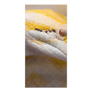 Indian Albino Python Ho Chi Minh City Zoo, Vietnam Picture Card