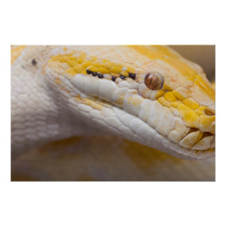 Indian Albino Python Ho Chi Minh City Zoo, Vietnam Poster
