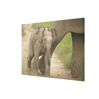 Indian / Asian Elephant and young one,Corbett 2 Stretched Canvas Print