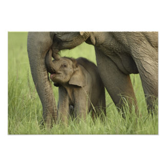 Indian / Asian Elephant and young one,Corbett 2 Poster
