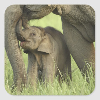 Indian Asian Elephant and young one Corbett 2 Square Stickers