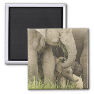 Indian / Asian Elephant and young one,Corbett 3 2 Inch Square Magnet