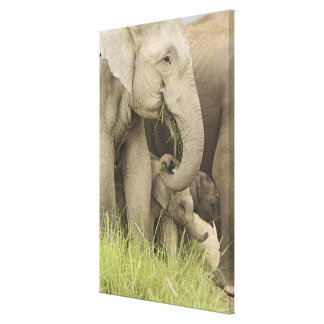 Indian / Asian Elephant and young one,Corbett 3 Canvas Print