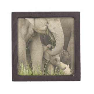 Indian / Asian Elephant and young one,Corbett 3 Gift Box