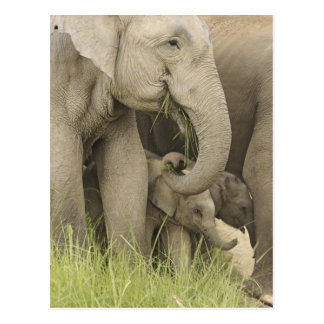 Indian / Asian Elephant and young one,Corbett 3 Postcard