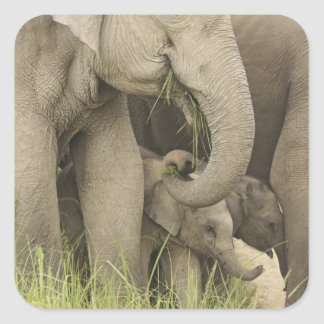 Indian / Asian Elephant and young one,Corbett 3 Square Sticker