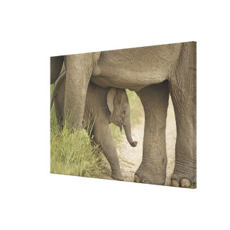 Indian / Asian Elephant and young one,Corbett Canvas Print