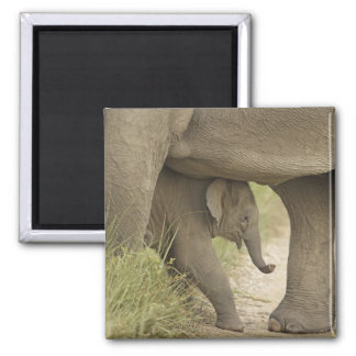 Indian / Asian Elephant and young one,Corbett Magnet