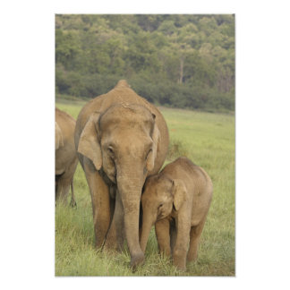 Indian / Asian Elephant and young one,Corbett Poster