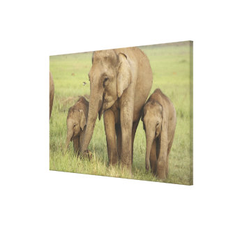 Indian / Asian Elephant and young ones,Corbett Canvas Prints