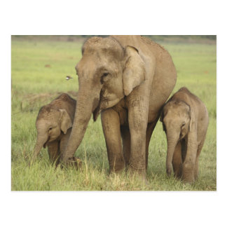 Indian Asian Elephant and young ones Corbett Post Card