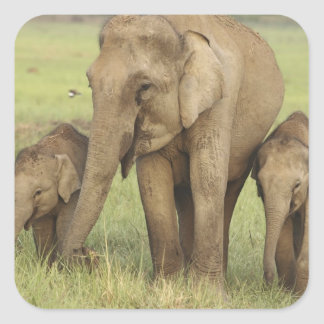 Indian / Asian Elephant and young ones,Corbett Square Sticker