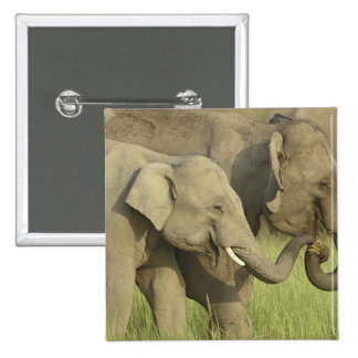 Indian / Asian Elephant asking for food;Corbett Button