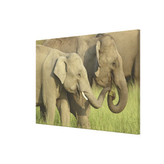 Indian / Asian Elephant asking for food;Corbett Stretched Canvas Print