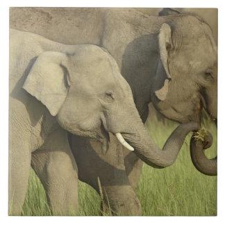Indian / Asian Elephant asking for food;Corbett Ceramic Tile