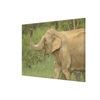 Indian / Asian Elephant communicating,Corbett 2 Stretched Canvas Print