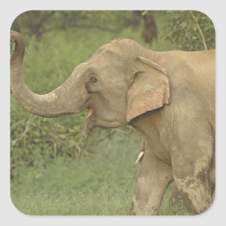 Indian / Asian Elephant communicating,Corbett 2 Square Sticker