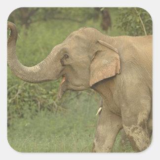 Indian Asian Elephant communicating Corbett 2 Square Stickers