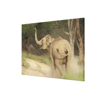 Indian / Asian Elephant communicating,Corbett Gallery Wrap Canvas