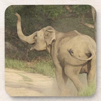 Indian / Asian Elephant communicating,Corbett Beverage Coasters