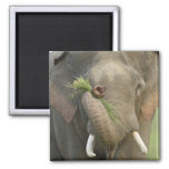 Indian / Asian Elephant displaying food,Corbett 2 2 Inch Square Magnet