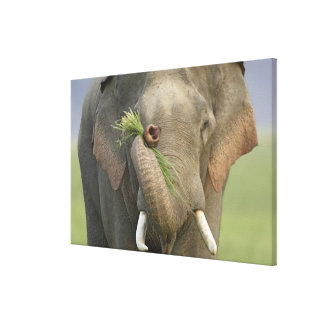 Indian / Asian Elephant displaying food,Corbett 2 Canvas Print