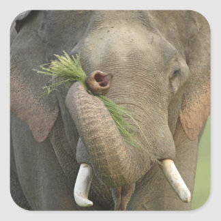 Indian Asian Elephant displaying food Corbett 2 Square Stickers