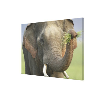 Indian / Asian Elephant displaying food,Corbett Gallery Wrapped Canvas