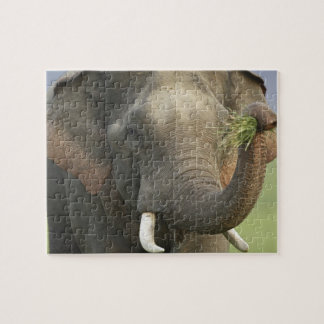 Indian / Asian Elephant displaying food,Corbett Jigsaw Puzzle