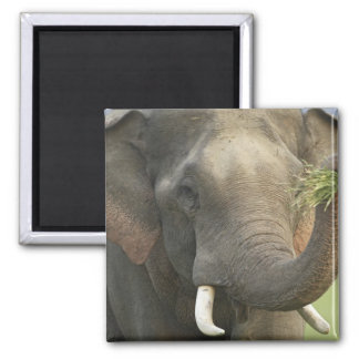 Indian / Asian Elephant displaying food,Corbett Magnet