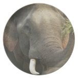 Indian / Asian Elephant displaying food,Corbett Melamine Plate