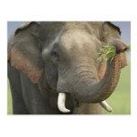 Indian / Asian Elephant displaying food,Corbett Postcard