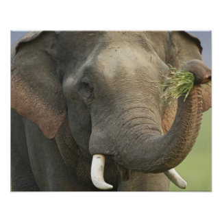 Indian / Asian Elephant displaying food,Corbett Poster
