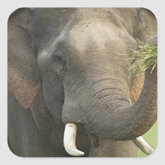 Indian / Asian Elephant displaying food,Corbett Square Sticker