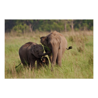 Indian Asian Elephant family in the savannah Poster